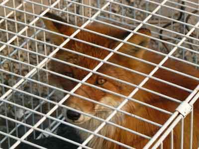 камчатская лисица в ветлечебнице, автор фото: Петр Шаров