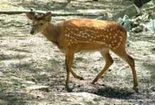 spotted_deer