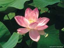 lotos