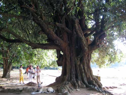 Железное дерево (Parrotia), самое прочное дерево, фото: фото: http://venividi.ru/